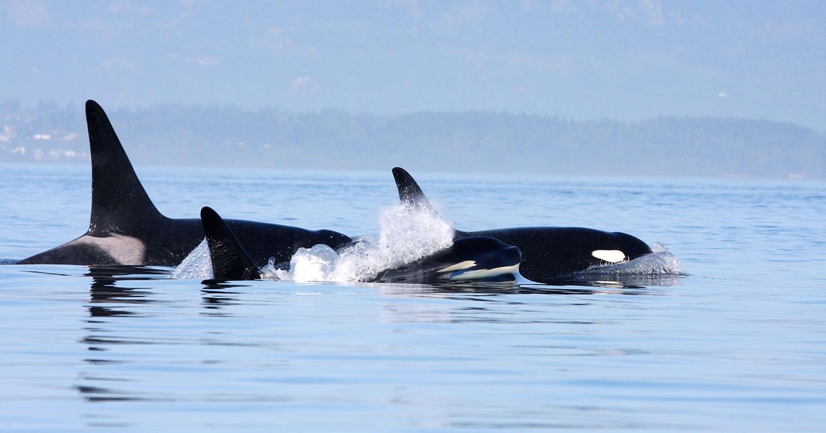 Three orcas off the coast of Canada
