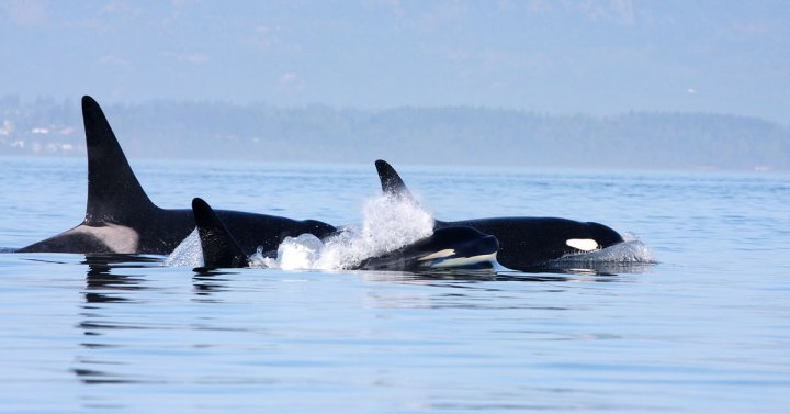 Fighting Orca Extinction on the Canadian Coast