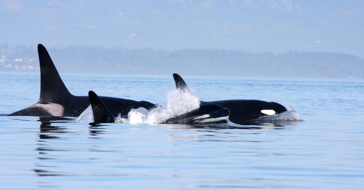 Three orcas off the coast of Canada
